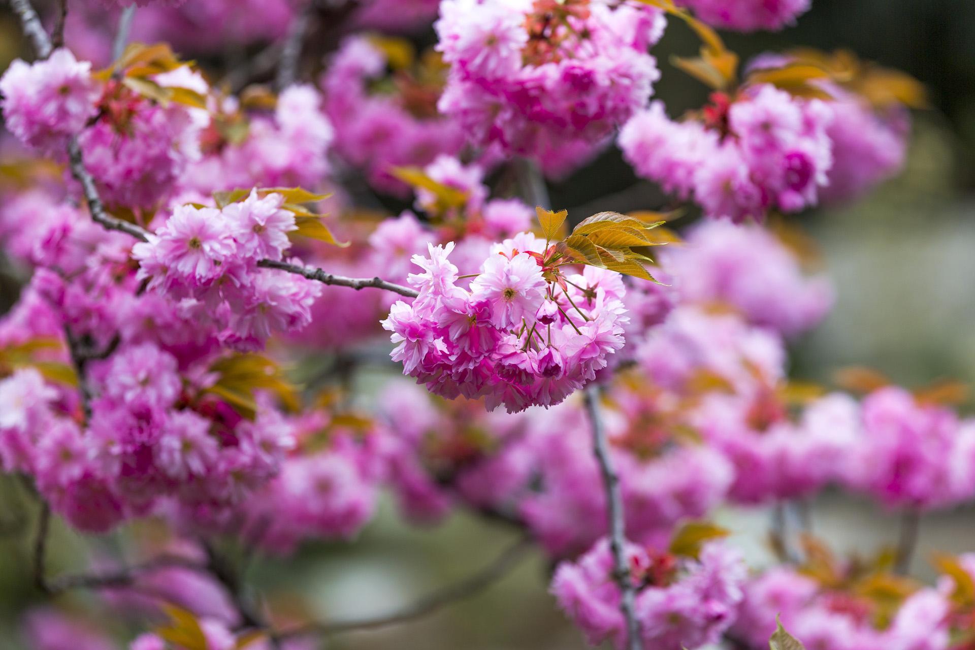 The magic of sakura